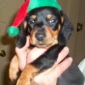 Mini Dachshund in red and green elf hat.