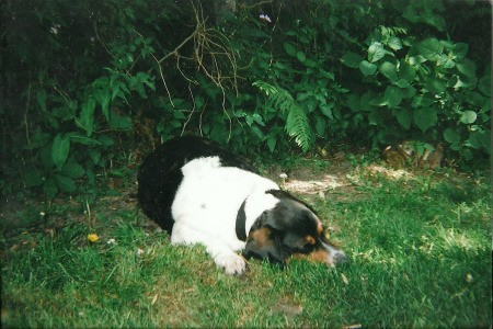 Tri-colored dog lying in the grass.