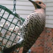 Flicker at suet feeder.