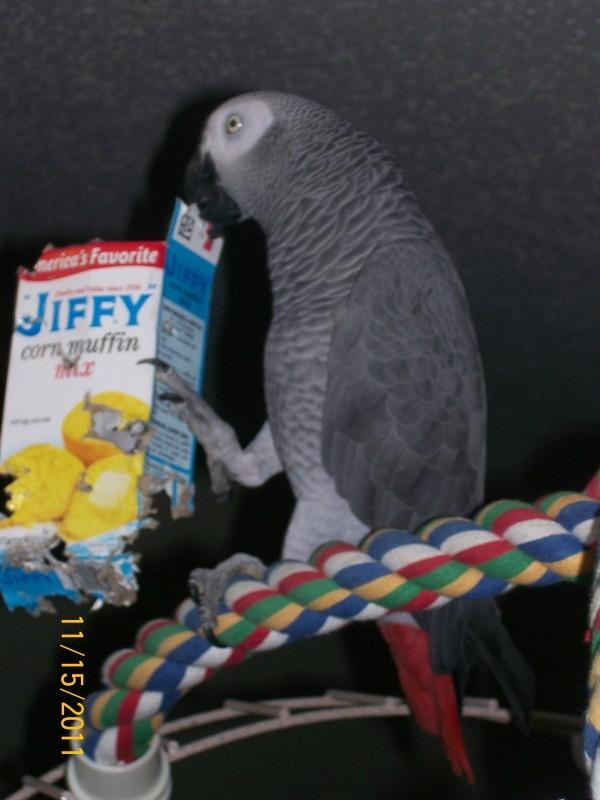 Grey parrot with Jiffy cake box