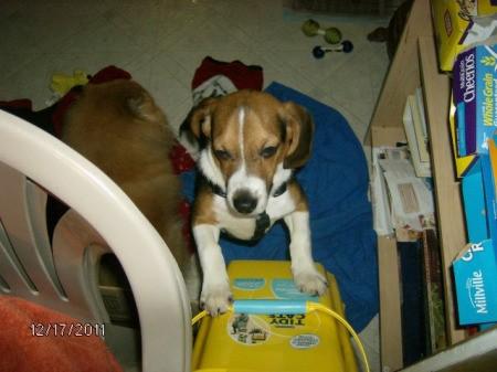 Beagle puppy standing up against a cat litter box.