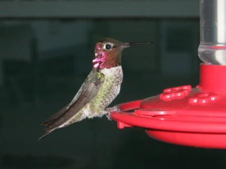 Closeup of hummingbird on red plastic feeder.