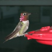 Closeup of hummingbird on red plastic feeder.