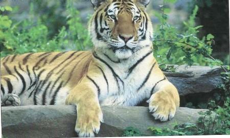Tiger at Toronto zoo.