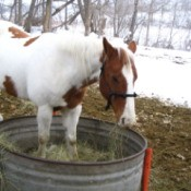 Scout the Paint Horse Eating Hay