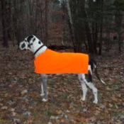 Great Dane in orange jacket.