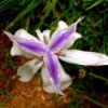 Purple and white flower.