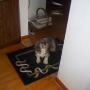 Dog with arthritis standing on throw rug.