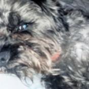 Closeup of a shaggy black and gray dog.