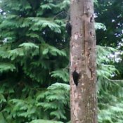 Mated Woodpeckers in Tree