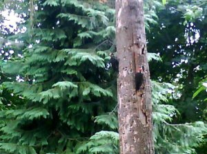 Two Mated Woodpeckers in Tree
