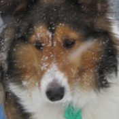 Closeup of Ellie the Sheltie.