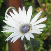 African Daisy Photo