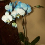 Died Blue Orchid Flowers