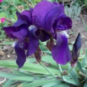 A purple iris growing in a garden.