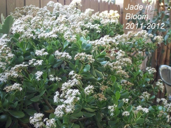 Small white flowers on a Jade plant in a garden.