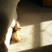 A small dog next to a couch.
