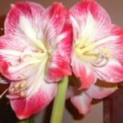 A flowering red amaryllis.