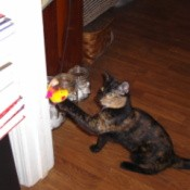 A young tortiseshell kitten playing with a toy.