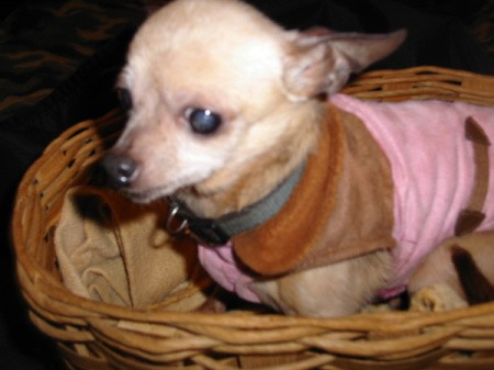A small aging dog in a basket.