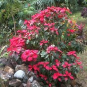 Growing Poinsettia Outside