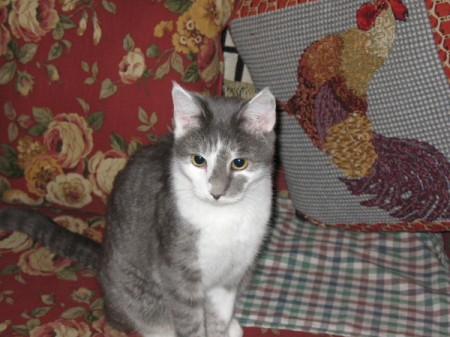 A grey and white cat sitting on a sofa.
