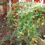 Plant vining up fence.