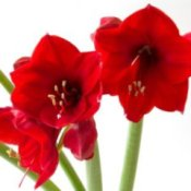 red amaryllis on white background