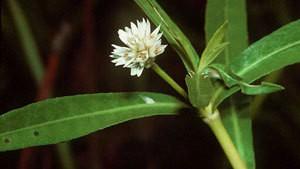 Alternanthera Flower