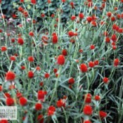 Amaranth Flowers