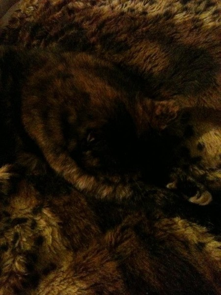 A tortoiseshell cat sleeping on a furry blanket which is the same color.