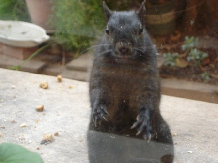 A squirrel knocking on the window, looking for food.