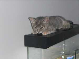 Moggy (Tabby) kitten named Gizmo laying on what appears to be the lighting hood for a fishtank