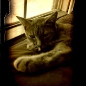 Sepia tint of Gizmo, a Moggie (dometic cat) kitten laying in front of a window