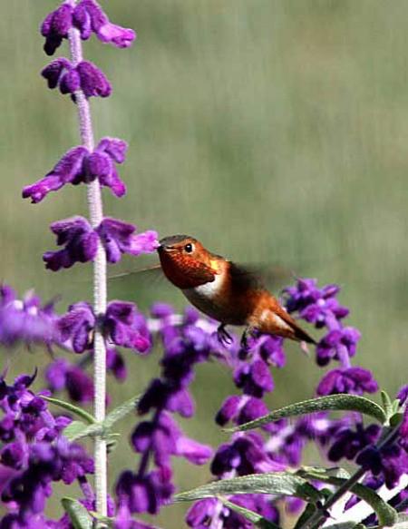 A Rufous hummingbird feeding on purple Mexican sage.