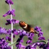 A Rufous hummingbird feeding on purple Mexican sage.