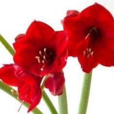 Growing Amaryllis, Red amaryllis blooms.