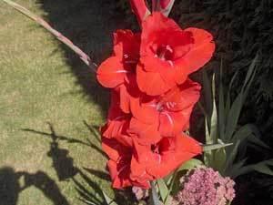 Growing Gladiolus - Red Gladiolus
