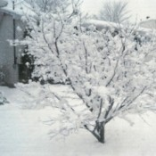 A snow covered tree in winter, in a snowy yard.
