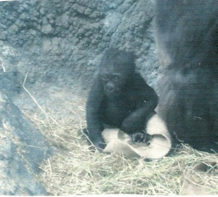 A baby gorilla at the Buffalo Zoo