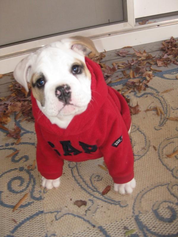 Zelda (Bulldog) wearing a red sweater inside.