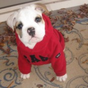 Zelda (Bulldog) wearing a red sweater inside.