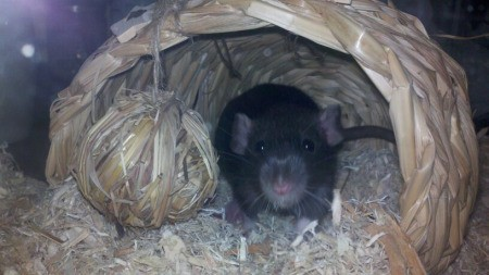 Mr. Jingles, a Dumbo Rat, in a woven rat house..