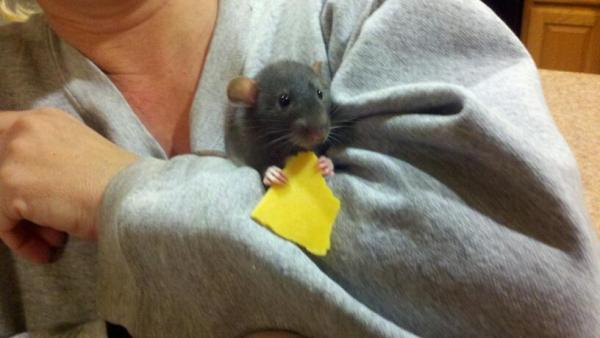 Mr. Jingles, a dumbo rat, standing on a person's arm eating cheese