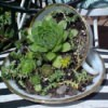 hens and chicks dish garden