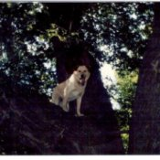 Molly (Dog) in a tree.