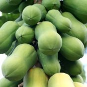 Papayas growing on a tree