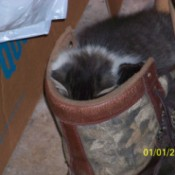 Socks (Cat) looking into a bag.