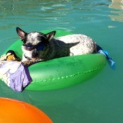 Tool (Blue Heeler) on a float in the pool.
