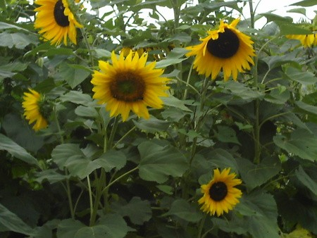 Budget Friendly Bird Feeding Tips, plant sunflowers for the birds.